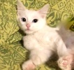 A picture of #ET03781: Joesette a Hemingway Polydactyl white