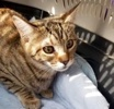 A picture of #ET03785: M a Domestic Short Hair brown tabby