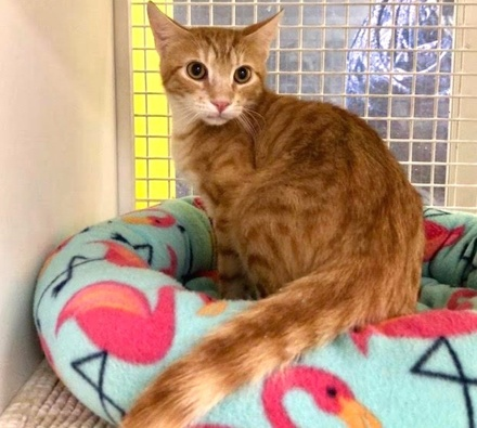 [picture of Dr No, a Domestic Short Hair orange\ cat]