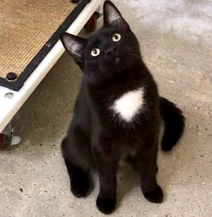 [another picture of Charcoal, a Domestic Medium Hair black/white\ cat]