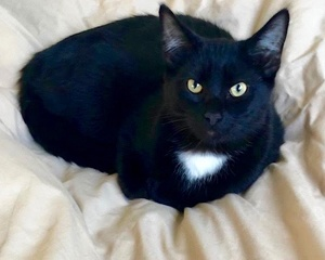 [picture of Charcoal, a Domestic Medium Hair black/white cat]