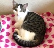 A picture of #ET03788: Layle a Domestic Short Hair brown tabby/white