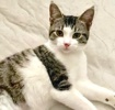 A picture of #ET03790: Gracie a Domestic Short Hair browm tabby/white