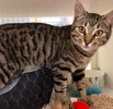 A picture of #ET03791: Torrance a Domestic Short Hair gray tabby