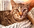 [picture of Torrance, a Domestic Short Hair gray tabby cat]