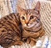 A picture of #ET03792: Duchie a Domestic Short Hair gray  tabby