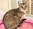 A picture of #ET03793: Torri a Domestic Short Hair tortie tabby