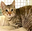 A picture of #ET03794: Cesi a Domestic Short Hair tortie tabby