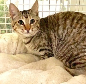 [another picture of Cesi, a Domestic Short Hair tortie tabby\ cat]