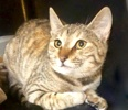 [picture of Cesi, a Domestic Short Hair tortie tabby cat]