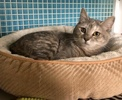 A picture of #ET03795: Princessa a Domestic Short Hair gray tortie