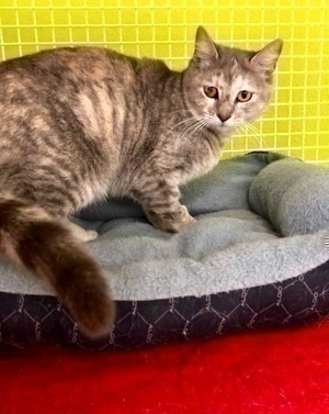 [picture of Princessa, a Domestic Short Hair gray tortie cat]