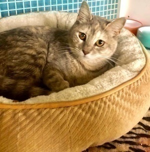[picture of Princessa, a Domestic Short Hair gray tortie\ cat]