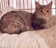 A picture of #ET03797: Spice a Domestic Medium Hair dilute tortie