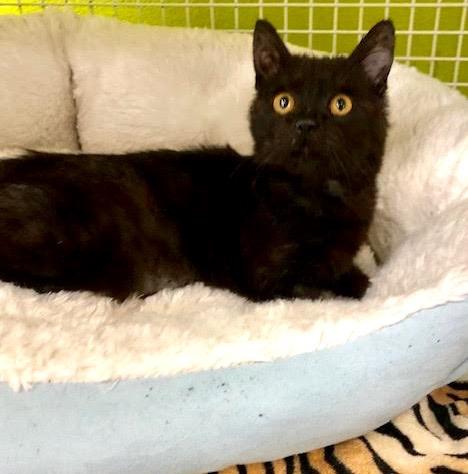 [picture of Samsam, a Domestic Medium Hair black\ cat]