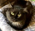 [picture of Heavena, a Domestic Long Hair black cat]