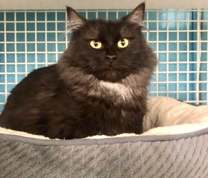 [picture of Heavena, a Domestic Long Hair black\ cat]