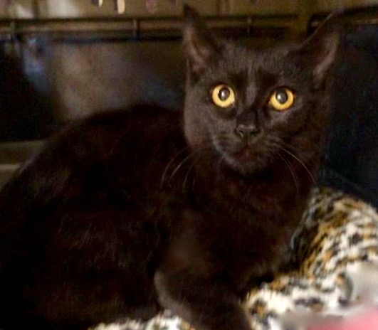 [picture of Neveah, a Domestic Medium Hair black\ cat]