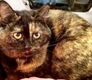 [picture of Amitola, a Domestic Medium Hair tortie\ cat]