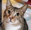 A picture of #ET03804: Bentley a Maine Coon-x brown tabby/white