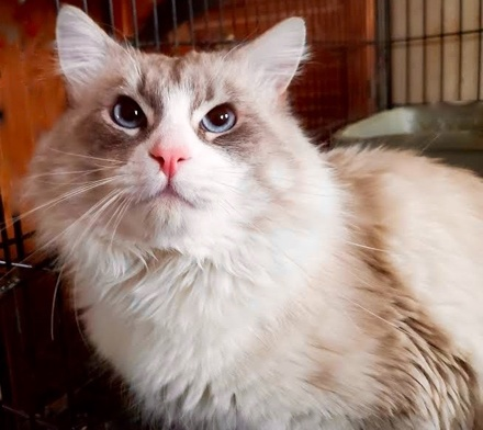 [picture of Buddy Boy, a Ragdoll Mix lynxpoint\ cat]