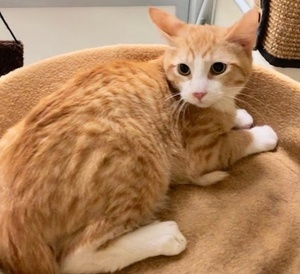 [picture of Patrick, a Domestic Short Hair orange/white\ cat]