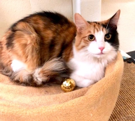 [picture of Poppy, a Domestic Long Hair calico\ cat]