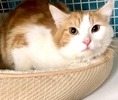 A picture of #ET03809: Enzo M a Domestic Long Hair orange/white