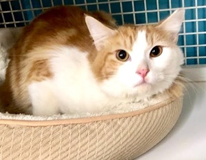 [another picture of Enzo M, a Domestic Long Hair orange/white\ cat]