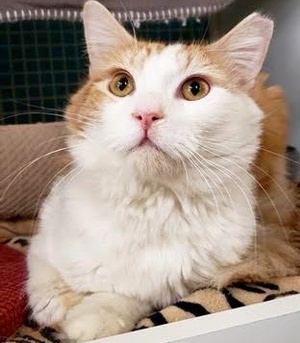 [picture of Enzo M, a Domestic Long Hair orange/white\ cat]