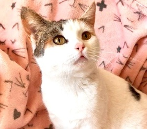 [picture of Sabrina, a Domestic Short Hair calico\ cat]