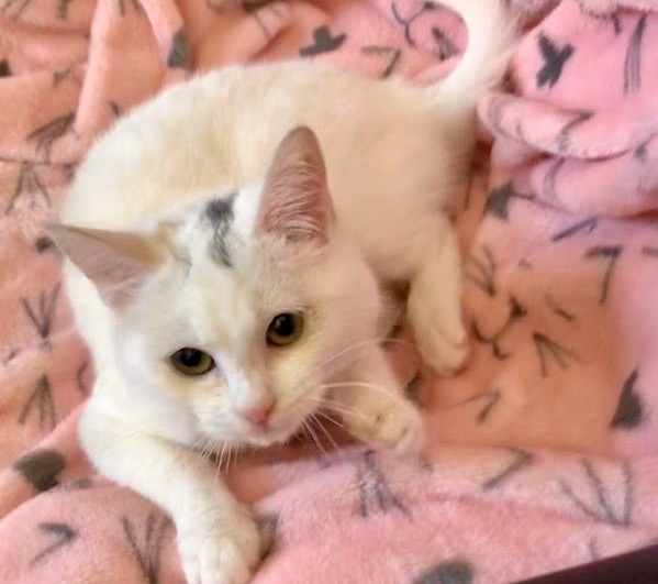 [picture of Nubee, a Turkish Van Mix white/black\ cat]