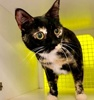 A picture of #ET03812: Hibiscus a Domestic Short Hair calico
