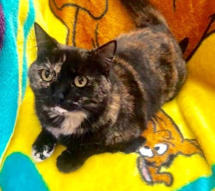[picture of Bonnie, a Domestic Short Hair tortie\ cat]