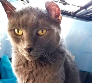 [picture of Ears, a Russian Blue Mix blue\ cat]