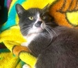 A picture of #ET03815: Alonso a Domestic Medium Hair blue/white