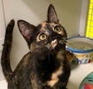 A picture of #ET03816: Winnie a Domestic Short Hair tortie