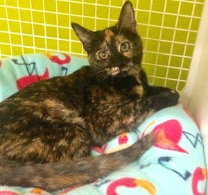 [picture of Winnie, a Domestic Short Hair tortie\ cat]