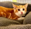 A picture of #ET03818: Brae a Domestic Short Hair orange/white