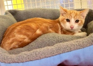 [another picture of Brae, a Domestic Short Hair orange/white\ cat]