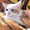 [picture of Brae, a Domestic Short Hair orange/white cat]