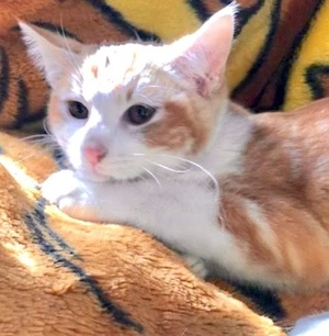 [picture of Brae, a Domestic Short Hair orange/white\ cat]