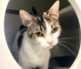 A picture of #ET03819: Steffi a Domestic Short Hair calico