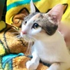 [picture of Steffi, a Domestic Short Hair calico cat]
