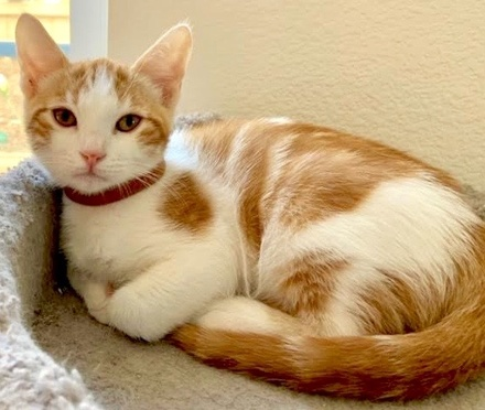 [picture of Jimmy, a Domestic Medium Hair orange/white\ cat]