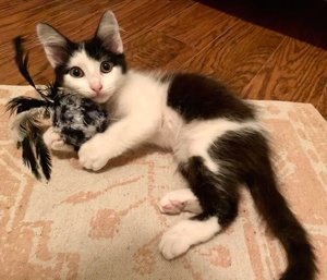 [picture of Roger, a Domestic Medium Hair black/white\ cat]