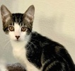 A picture of #ET03823: Fritz a Domestic Short Hair white/black marble