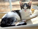 A picture of #ET03824: Coco a Domestic Medium Hair black marble/white