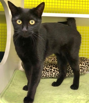 [another picture of Rita, a Domestic Short Hair black\ cat]
