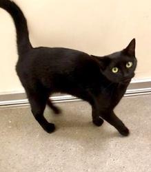 [picture of Rita, a Domestic Short Hair black cat]